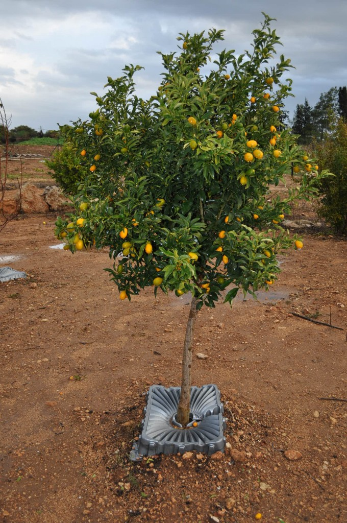 Orange tree with tray
