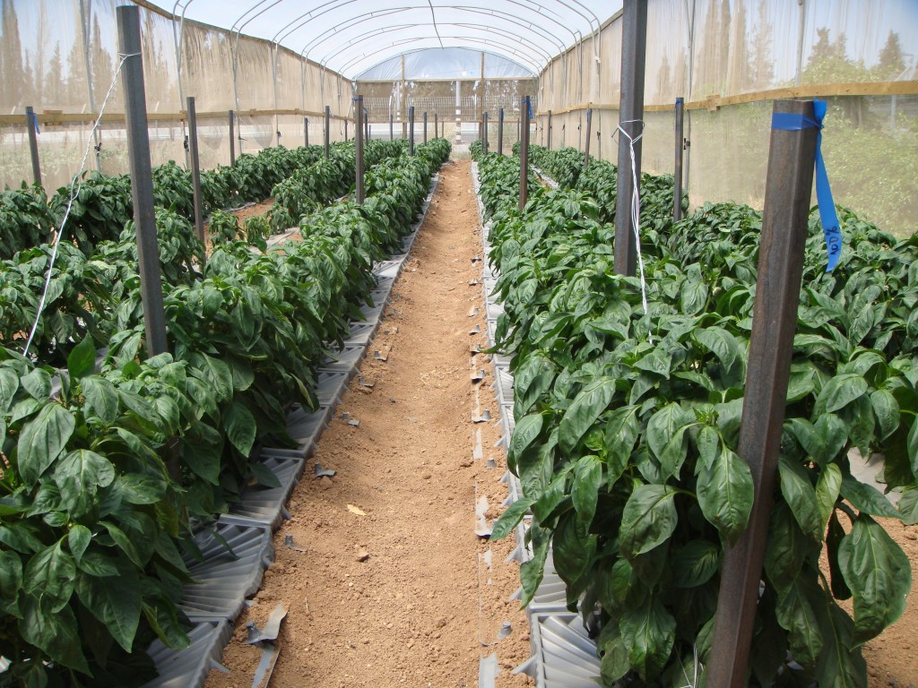 Vegetable trays in greenhouse (production in 2014)